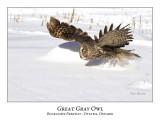 Great Gray Owl-083