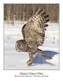 Great Gray Owl-084