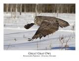 Great Gray Owl-085