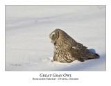 Great Gray Owl-086