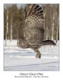 Great Gray Owl-087