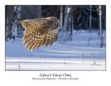 Great Gray Owl-088
