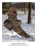 Great Gray Owl-089