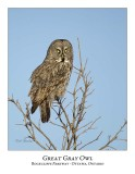 Great Gray Owl-090