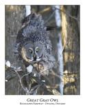 Great Gray Owl-091