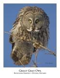 Great Gray Owl-095