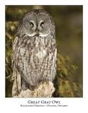 Great Gray Owl-096