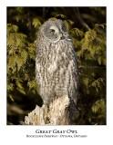 Great Gray Owl-97