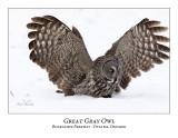 Great Gray Owl-98