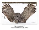 Great Gray Owl-100