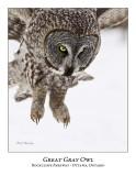 Great Gray Owl-103