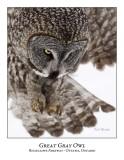 Great Gray Owl-104
