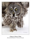 Great Gray Owl-105