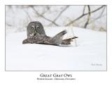 Great Gray Owl-107