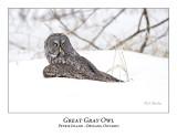Great Gray Owl-108