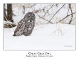 Great Gray Owl-113