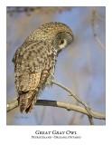Great Gray Owl-123