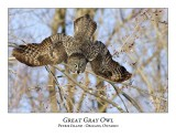 Great Gray Owl-125