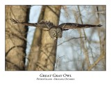 Great Gray Owl-127