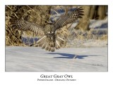 Great Gray Owl-128