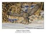 Great Gray Owl-129
