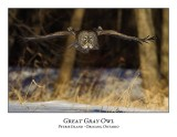 Great Gray Owl-137