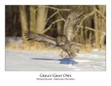 Great Gray Owl-138