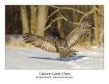 Great Gray Owl-139