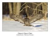 Great Gray Owl-140