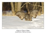 Great Gray Owl-142