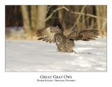 Great Gray Owl-143
