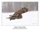 Great Gray Owl-146