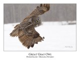 Great Gray Owl-148