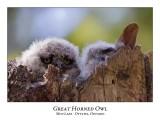Great Horned Owl-022