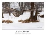 Great Gray Owl-153