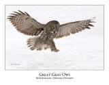 Great Gray Owl-156