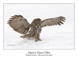 Great Gray Owl-157