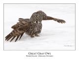 Great Gray Owl-158