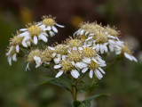 Flat-topped White Aster