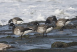 Witbuikrotgans / White-bellied Brent Goose
