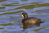 Topper / Greater Scaup