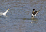 Herring Gull stealing Brown Trout from RB Merganser - the aftermath - no injuries