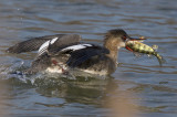Red-breasted Merganser female with a perch