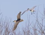 Black-crowned Night Heron being harassed by a Caspian Tern