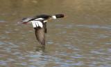 Red-breasted Merganser male flight shot