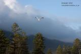 20130106_27482 Mid Flight, Afternoon Light (Sun 06 Jan)