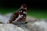 Grote Weerschijnvlinder - Purple Emperor