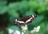 Kleine IJsvogelvlinder - White Admiral
