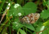 Purperstreepparelmoer - Lesser Marbled Fritillary
