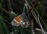 Veenhooibeestje - Large Heath